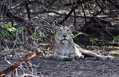 Lion de forêt de gir